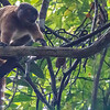Female White-fronted Brown Lemur