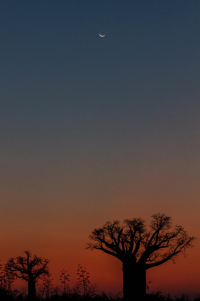 Baobabs at sunset.  At our dinner location about 5km south of Mandrare River Camp.