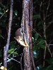 Mouse Lemur in Ranomafana Reserve, Madagascar.