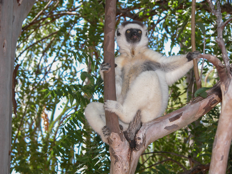 Young Verreaux's sifaka at Berenty
