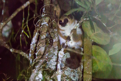 Dwarf lemur at night - Andasibe NP
