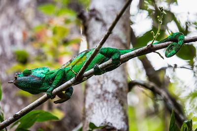 Parson's chameleon - Andasibe NP