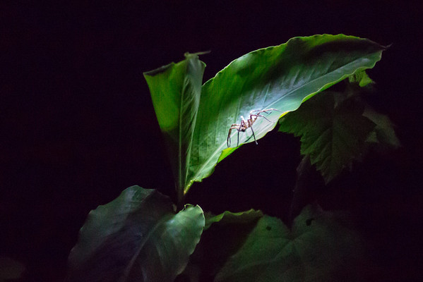 Spider by torchlight - Andasibe NP