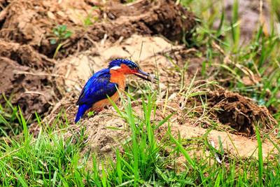 Madagascar kingfisher, Antananarivo