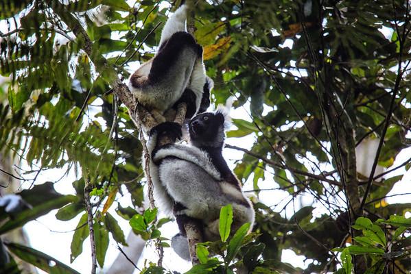 Indri - Andasibe NP