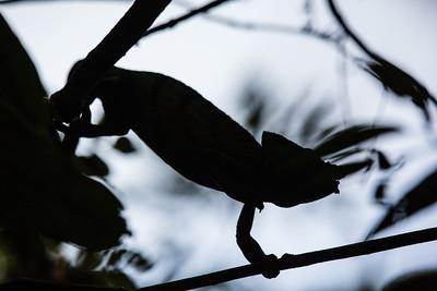 Chameleon silhouette - Andasibe NP
