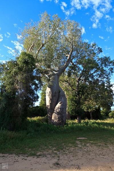Morondava   Les baobabs amoureux