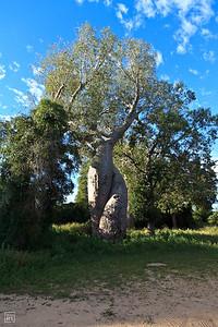 Morondava | Les baobabs amoureux