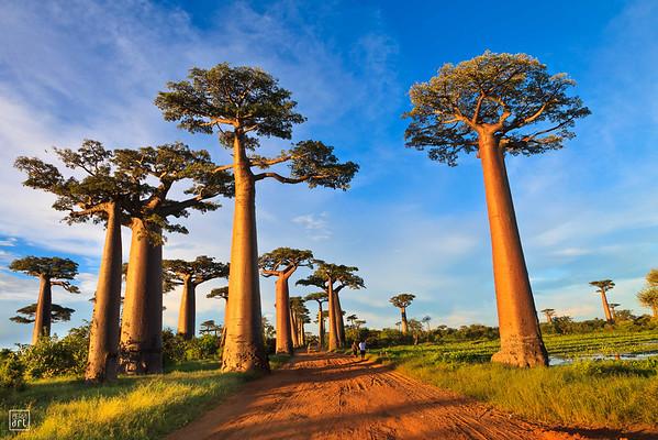 Morondava | Allée des Baobabs