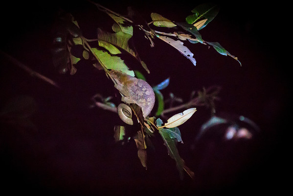 Elephant-Eared Chameleon - Andasibe NP