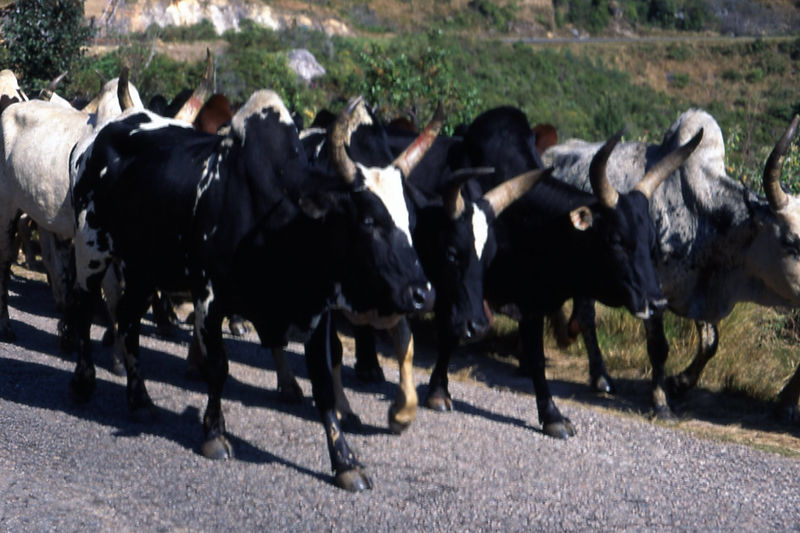 Zebu walking on the road, Madagascar.