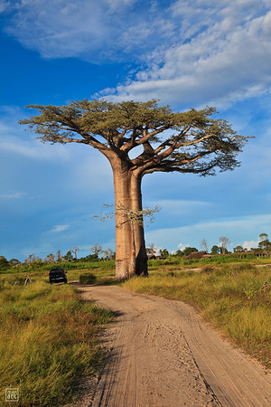 Morondava | Baobab in all majesty