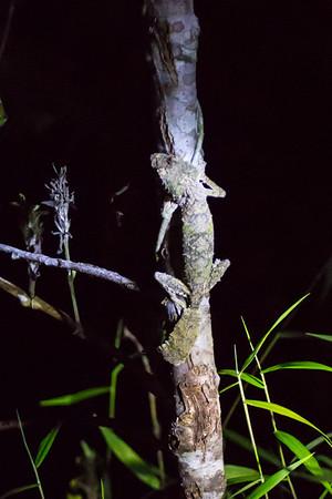 Leaf-tailed Gecko - Andasibe NP