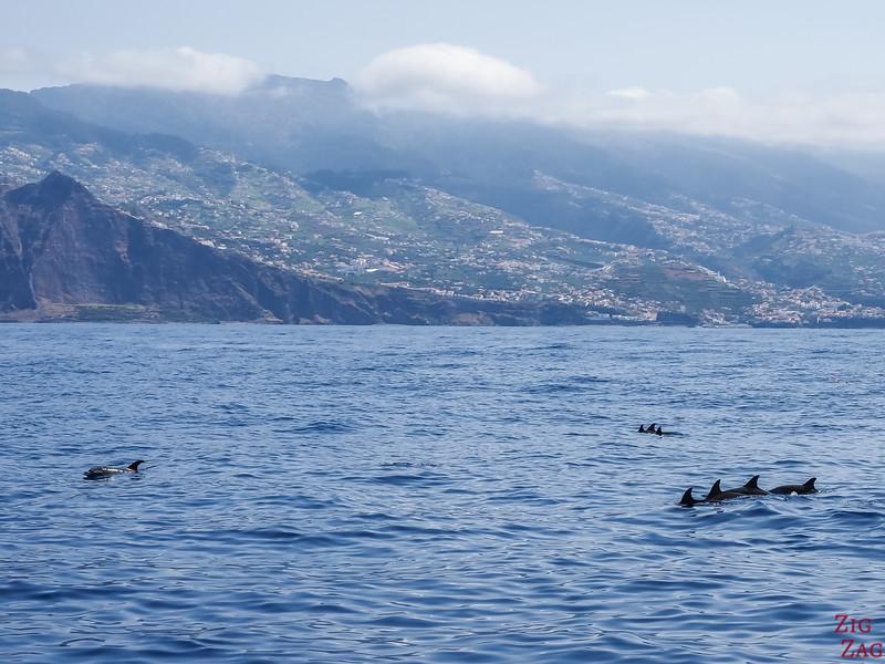 Dolphin autour de Madère