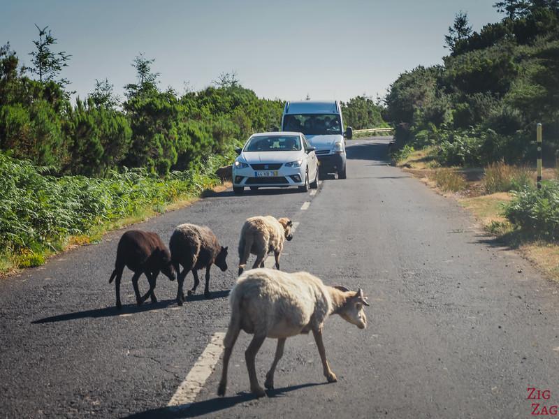 Tiere auf Madeiras Straßen