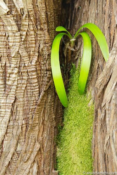 Planta epífita sobre tronco .