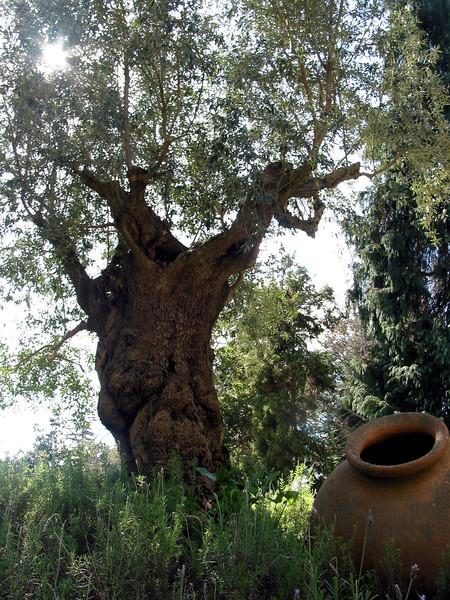 Olive Tree (300 BC), Botanical Gardens