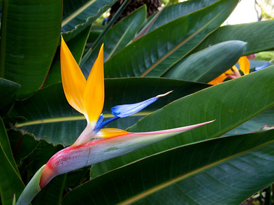 Bird of Paradise flower, Santa Caterina Park.