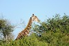 Giraffes' strange tongues help them strip the leaves off the acacia branches without getting stabbed by the large thorns