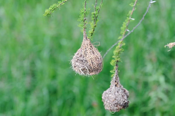 The nests of the weaver bird!