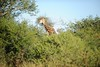 Our first game drive find! A shy giraffe eating some trees