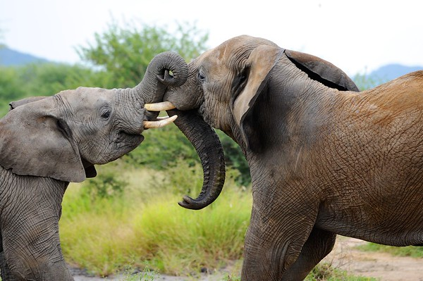 My tusks are bigger than your tusks!