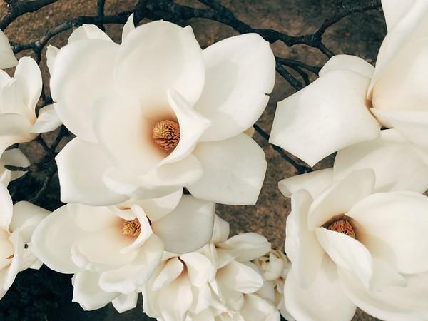 Magnolia Blossoms 2016
