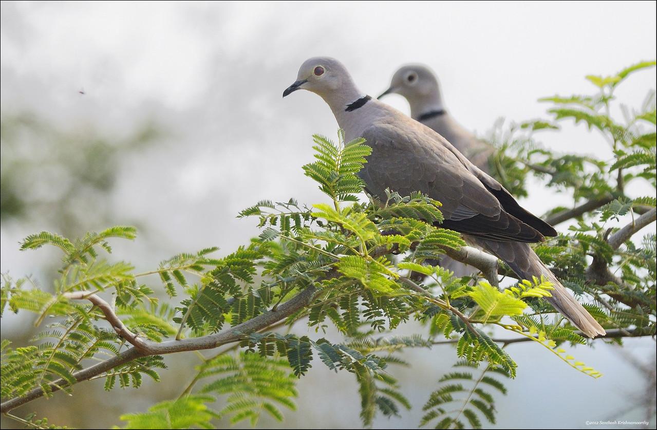 Eurasian collared Doves