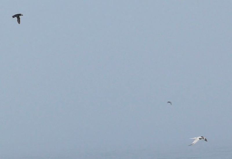 The photo we weren't sure we'd get - a puffin in flight