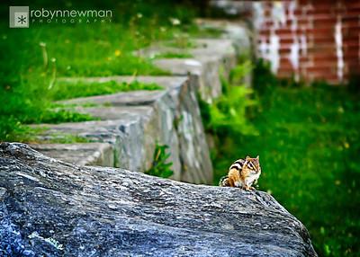 Chipmunk in Camden, Maine