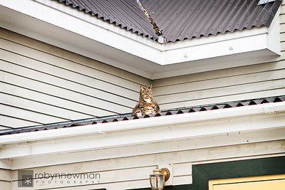 "This puts a whole new twist on the expression ""cat on a hot tin roof"".  It was chilly this day, so I guess taking a bath on the warm tin roof was just what he needed.  Boothbay Harbor, Maine"