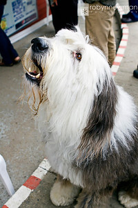 I love English Sheepdogs (this is Bear, the Professional Actor).