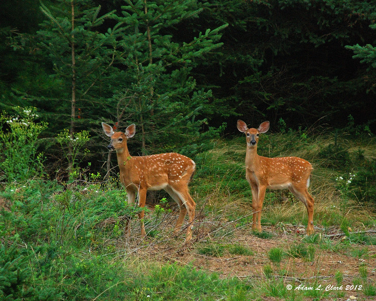 The two fawns.  It looks like both of them are males (notice the dark spots above the eyes where the antlers will later grow in)