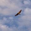At first we thought this was a young golden eagle, but my vet friend said it's a juvenile bald eagle.  Only had my short landscape lens with me, so this image is poor (very cropped).