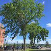 Elm trees across the street from the City Hall, Fredericton, New Brunswick. July 20, 2016.