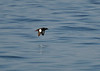 Black Guillemot in flight. Guillemots are deep divers that feed on the bottom.
