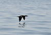 Cormorant in flight. It dives from the surface of the water and chases prey underwater. Grabs fish in bill, without spearing it.