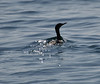 Cormorant preparing to take off