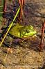 Frog in Acadia