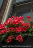 Begonias with Raindrops