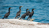 Four Male Breeding Cormorants