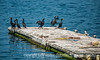 Cormorants in Boothbay Harbor