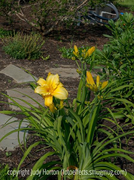 Daylily in Janie's Garden