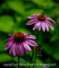 Echinacea (Coneflower) with a Fly