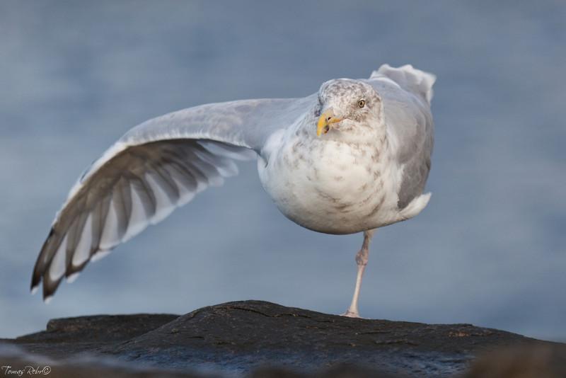 Seagull on Cape Neddick, Maine, USA