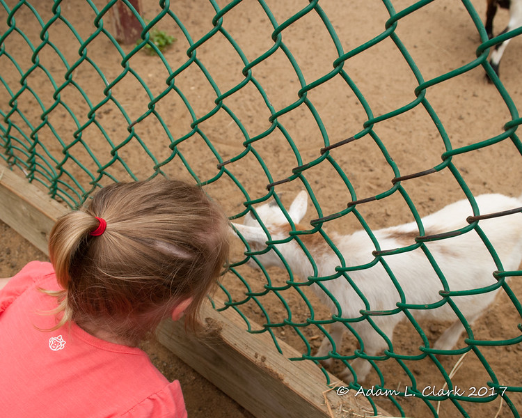 Liliana checking out the young goats