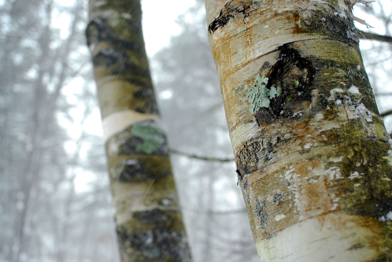 good texture on birch