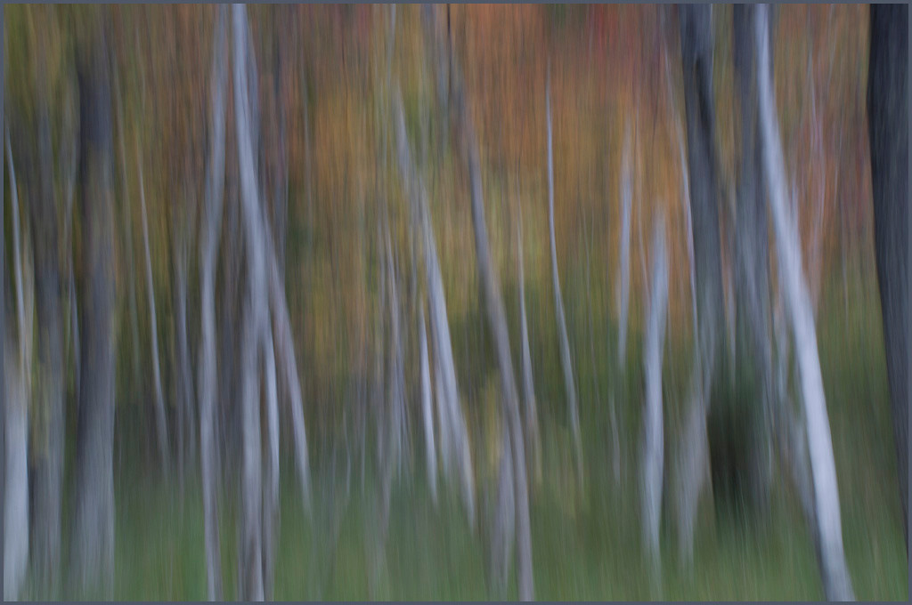 Birch Tree Abstract