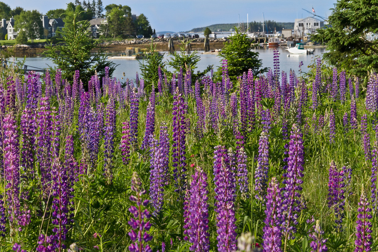 A stand of lupine looking over Boothbay Harbor, Maine