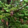 Pine cone on Bar Island